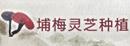 埔梅灵芝种植